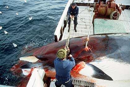 Norway whalers kill a minke whale