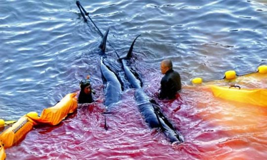 Japanese fisherman killing pilot whales