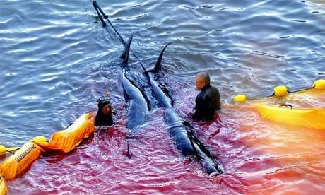 Japanese fisherman killing pilot whales