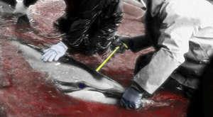 Taiji Dolphin Hunt