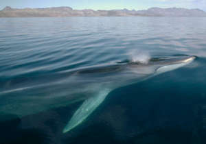 Endangered Fin Whale