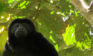 Mantled Howler Monkey in forest cover