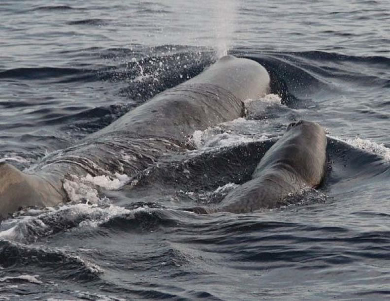 Mother and Baby Sperm Whale