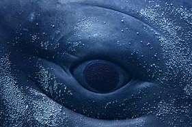 Sperm Whale Eye