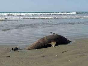 Dead Dolphin on Gulf Beach