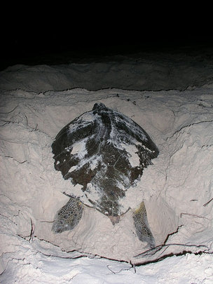 Green turtle laying Chelonia mydas