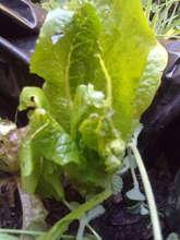 Lettuce in a model prototype of OUR Module