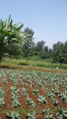A cabbage plantation by Sanyu Ly'amaka Farmers