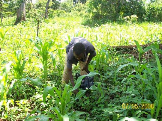 Maize and Ground Nut Plantation.