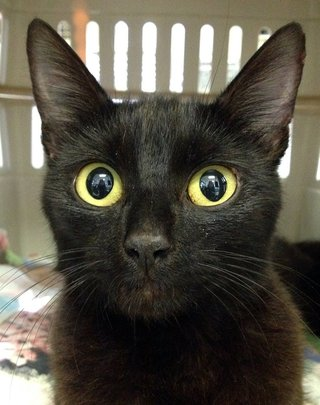 Midnight - FCCO's 69,000th cat helped!