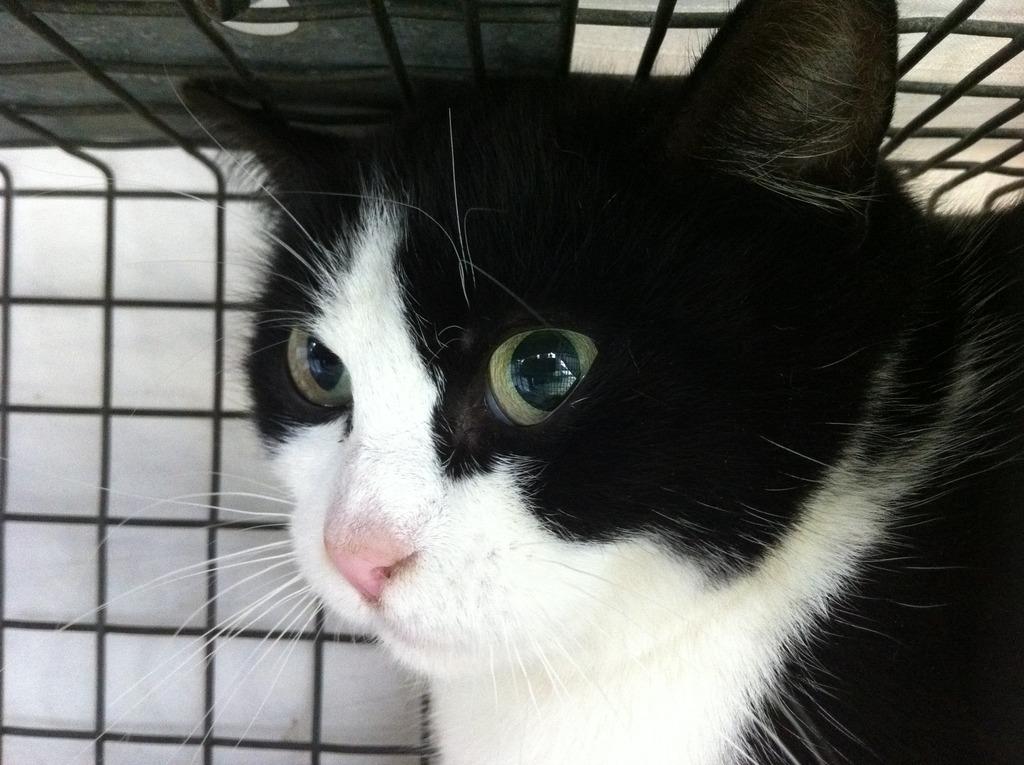 Feral cat in trap awaiting spay/neuter surgery