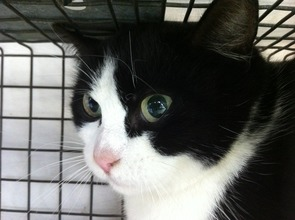 Feral cat in trap awaiting spay/neuter surgery
