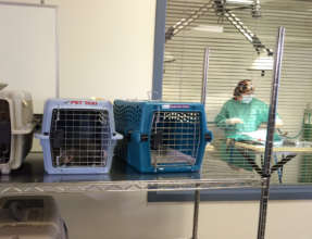 Cats in the clinic with a veterinarian in surgery