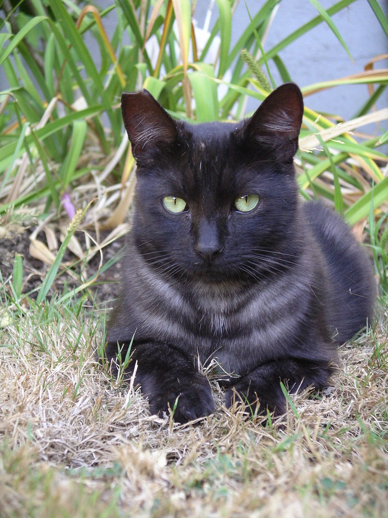 "Black feral cat who came to an FCCO clinic, was neutered and vaccinated, and had his right ear """"tipped"""" to indicate that he has been altered."