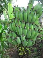 A large Hand of Bananas...YUM