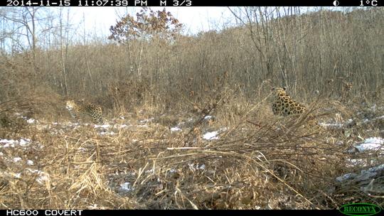 Help Save Last 30 Amur Leopards from Extinction