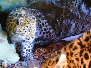 Leopard cubs in the cave (c) Land of the Leopard
