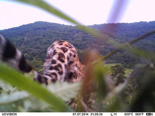 Leopard returned to depredation site at Bezverhovo