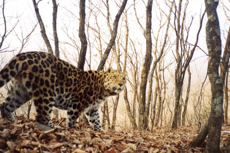 Help Save Last 30 Amur Leopards from Extinction