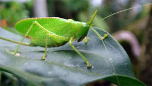 Katydid of the San Luis Forest