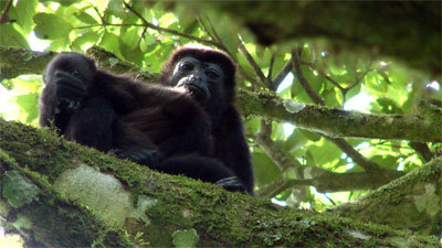 Howler Monkey, mother and baby