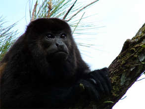 Male Mantled Howler Monkey