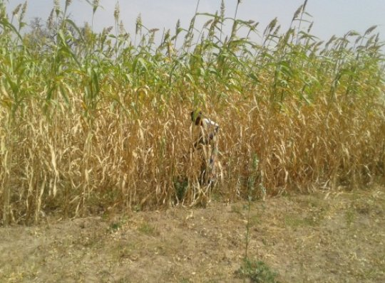 The AGAM vice president in thier millet farm