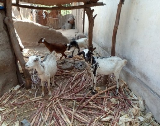 Some goats for IGA in Tokombere member's house