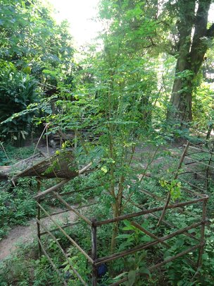 Moringa not affected by Flood Waters