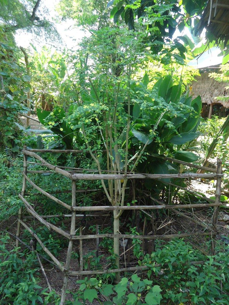 A well used and thriving Moringa Tree
