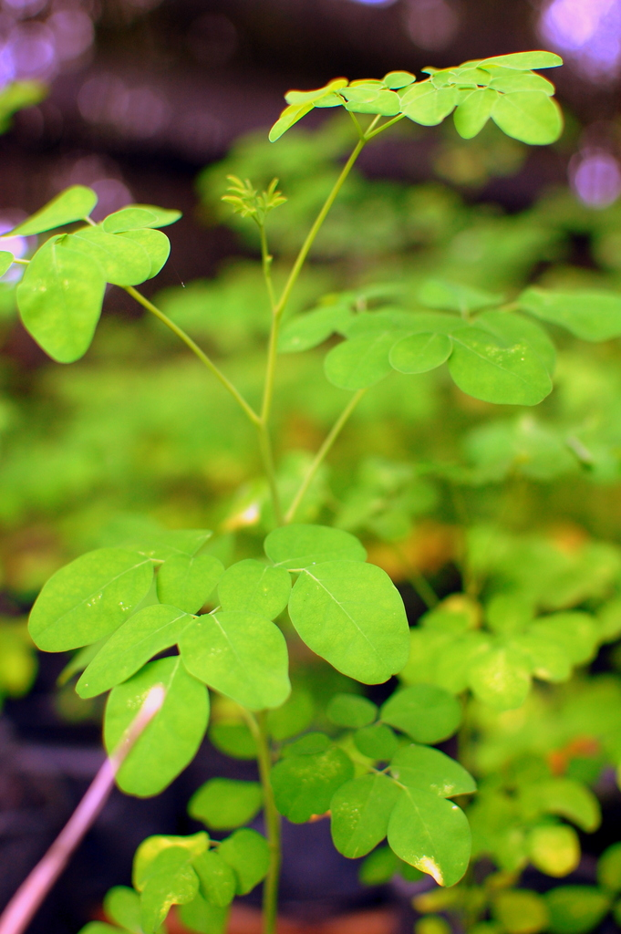 Moringa leaves - delicious in stir fries and soup!