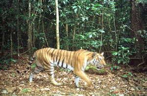 Rare tiger-Mondulkiri