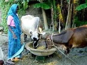 Manavi member feeding her cattle