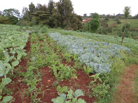 Greens in the shamba