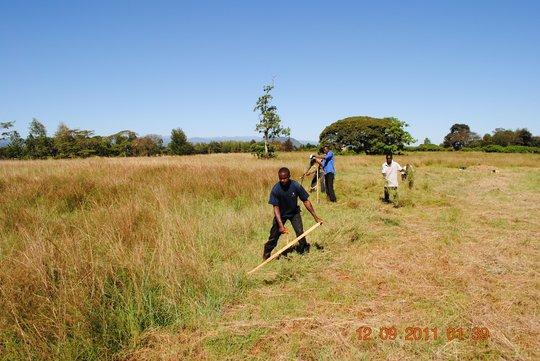 Youth cutting hay...
