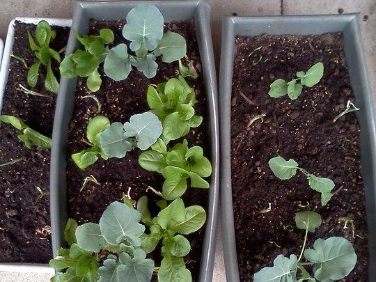 broccoli, onions, lettuce, spinach