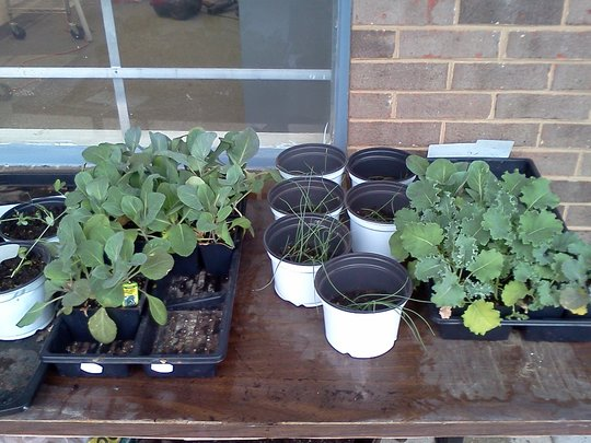 cabbage onion kale snowpea seedlings from seeds