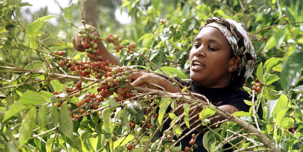 Image result for coffee farmers in kenya