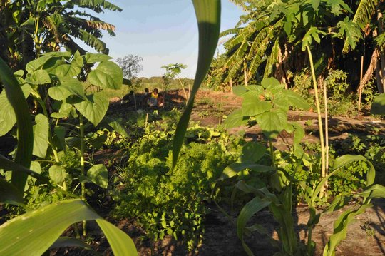 currently thriving vegetable garden in Ranobe