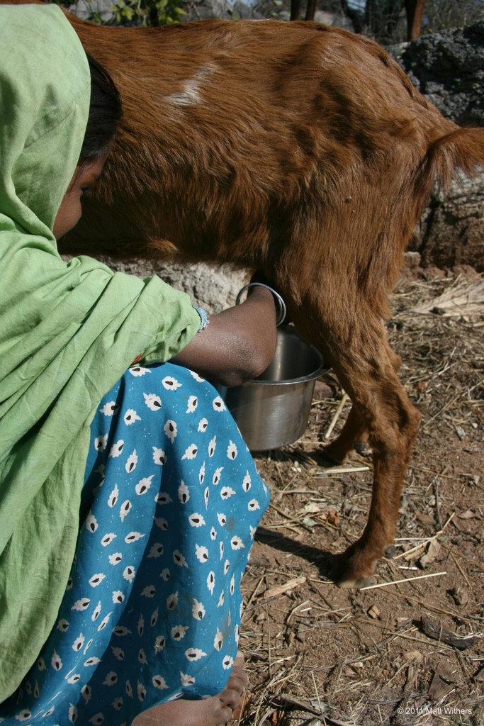Milking the few goats in the herd that aren