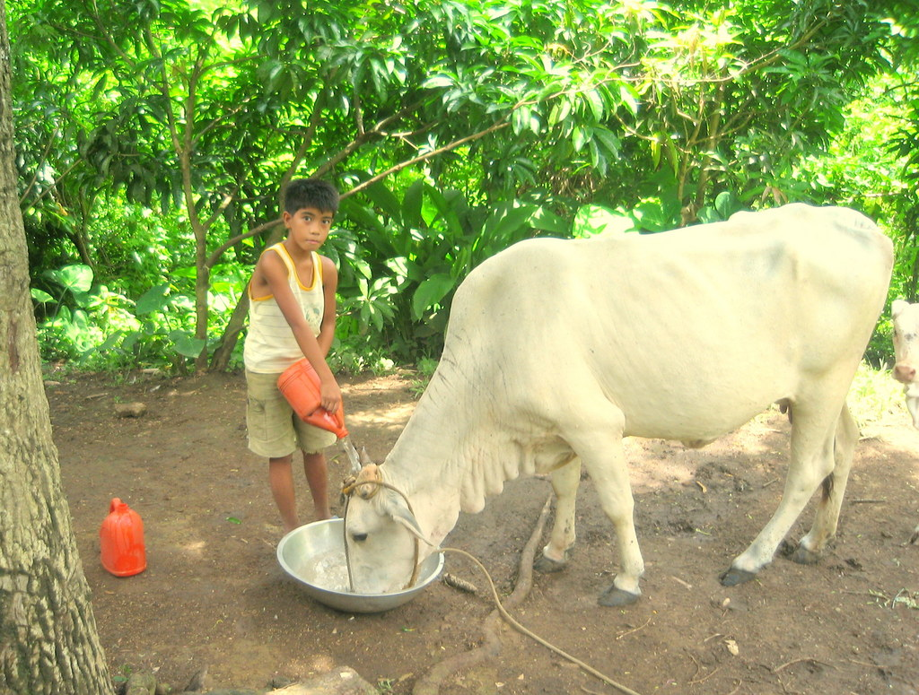 Christopher (11yrs old) fetching water for cow