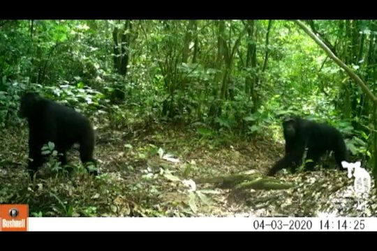 Chimps Spotted by Camera Trap
