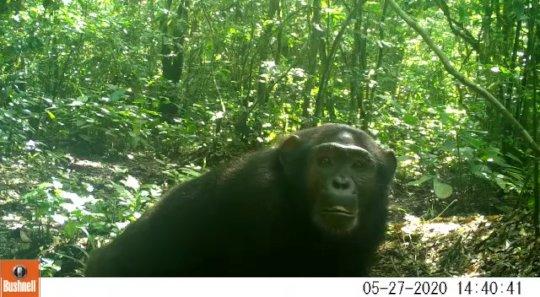 A chimpanzee investigates a camera trap.