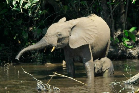 Forest Elephant and Calf in Okapi Wildlife Reserve