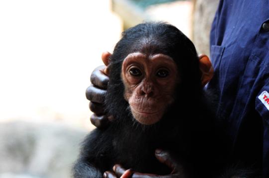 Rescued Chimpanzee