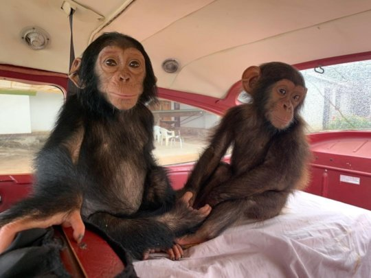 Female and Male chimp flying to Lwiro. A. Caere