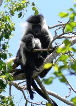 Help protect Colobus Monkeys & forest in Kenya