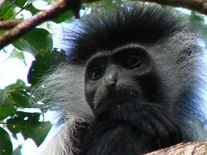 Help protect Colobus Monkeys & forest in Kenya