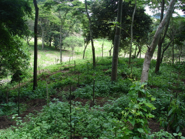 Planted. In every bamboo pole there is a tree.