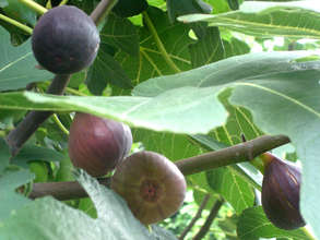 Tree Ripe Figs